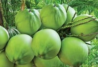 Fresh And Tender Coconut