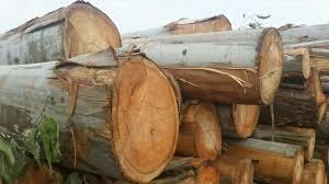 Natural Eucalyptus Wood Logs