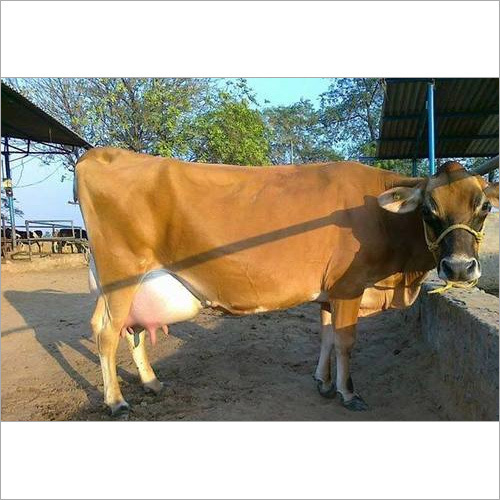 High Breed Jersey Cow