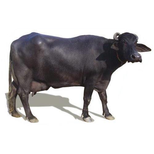 Murrah Buffalo In Karnal, Murrah Buffalo Dealers & Traders In Karnal