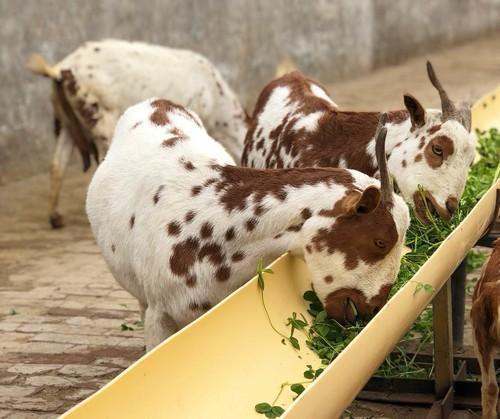 Fresh and Healthy Barbari Goat - Sachin Goat Garm, Village