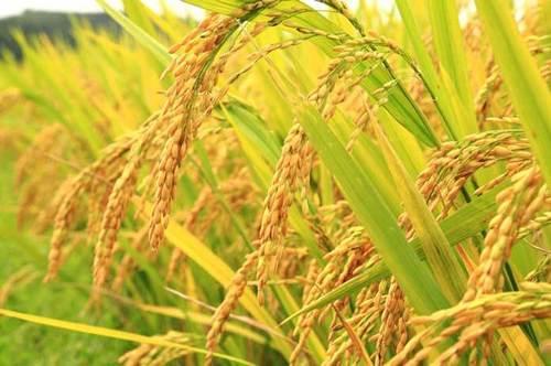 Organic Pure White Rice