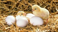 Broiler & Layer Hatching Egg