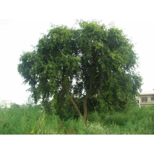 Organic Sheesham Wood Plant