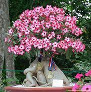 Adenium Flowering Beautiful Plant