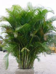 Areca Palms (Dypsis Lutescens)