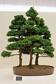 Cypress Bonsai Garden Trees