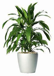Dracaena Plants (120 Species Of Trees)