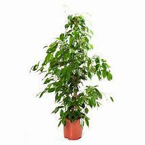 Ficus Benjamina Barok Plant