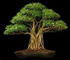 Ficus Bonsai Garden Trees