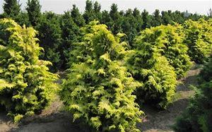 Indian Golden Cypress Plant