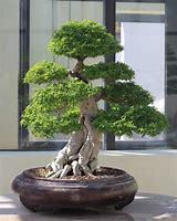 Natural Indoor Bonsai Plant
