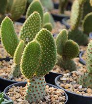 Natural Indoor Cacti Plants