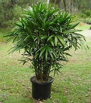 Rapish Palm Garden Plant