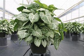 Syngonium Flowering Beautiful Plants