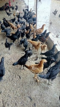 Country Chicken (Natu Kodi)