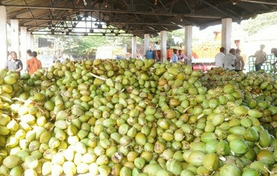 Fresh Green Tender Coconuts