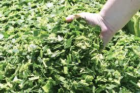 Fresh and Green Corn Silage