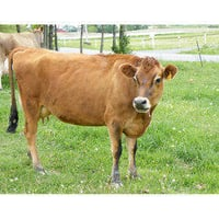 Healthy And Fit Jersey Cow