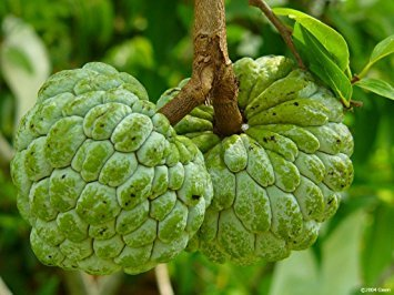 Fresh And Healthy Custard Apple