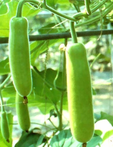 Natural Fresh Bottle Gourd
