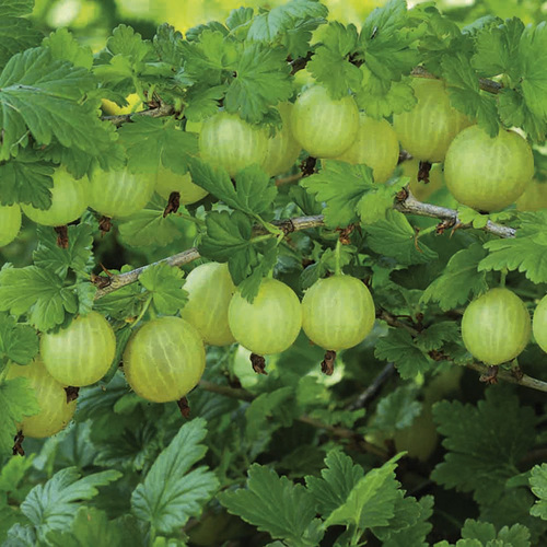 Natural Fresh Indian Gooseberry