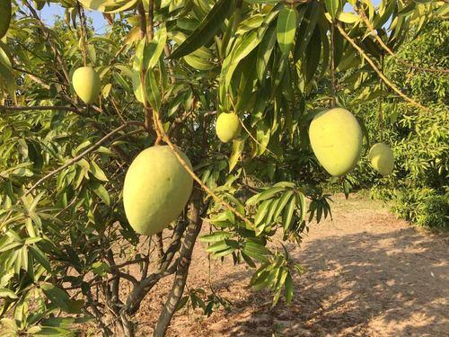100% Natural Fresh Mango