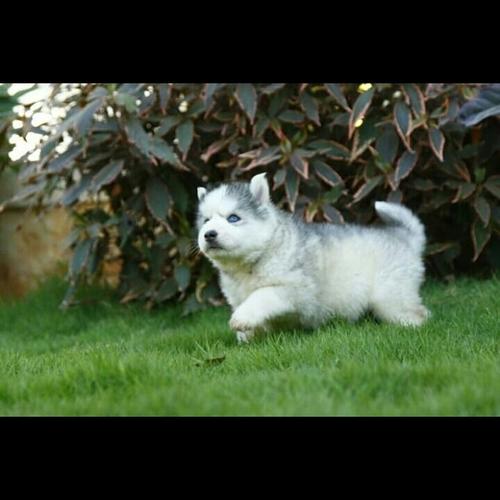 Siberian Husky Breed Puppy