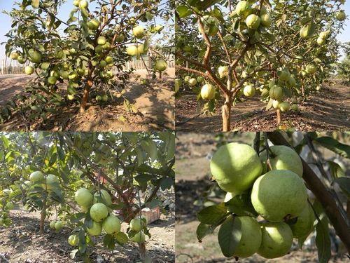 Suvarna Guava Plant