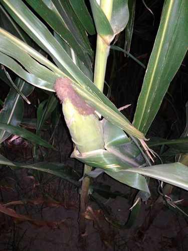 Natural Organic Hybrid Maize