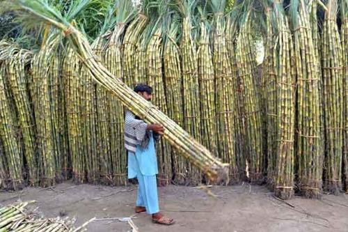 Fresh Sugarcane - Fruits