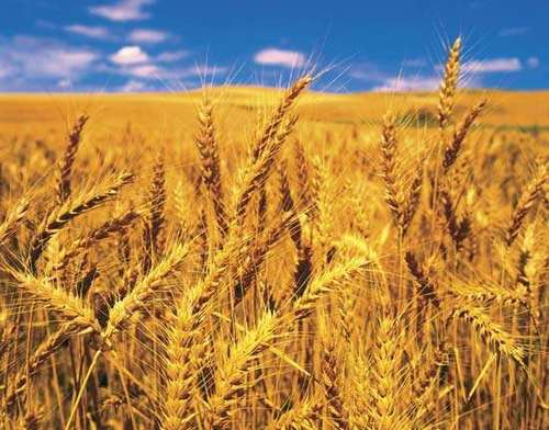 Indian Organic Fresh Wheat