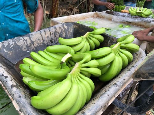 Fresh Green Color Cavendish Banana