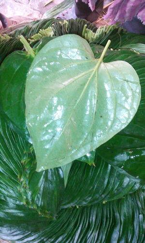 Fresh Betel Leaves Mitha (Sweet) Pali