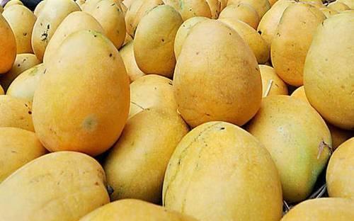 Fresh Banganapalli Mango - Fruits