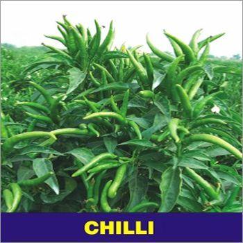 Chilli Seed - Suraj Mukhi