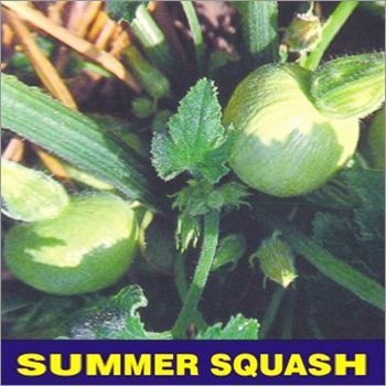 Summer Squash Seed Selection - 1