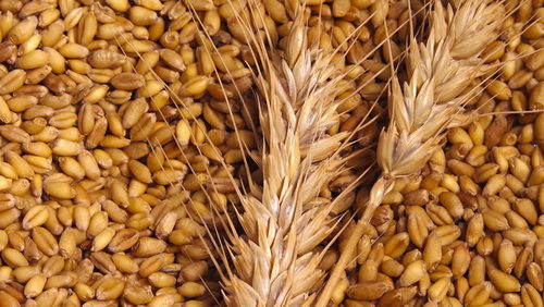 High Nutrition Organic Wheat