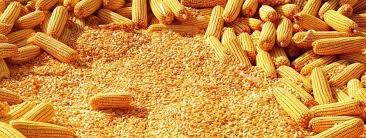 High Quality Fresh Yellow Maize