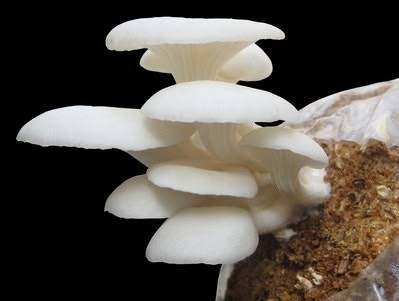Oyster Mushroom Spawn Suppliers