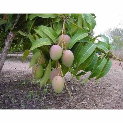 Best Price Mango Tree At Best Price In New Delhi Delhi Joginder Nursery