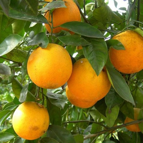 Sweet Tasty Orange Fruit