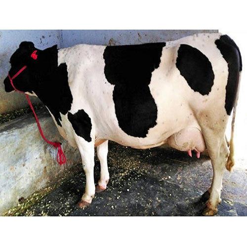 Best Price HF Cow