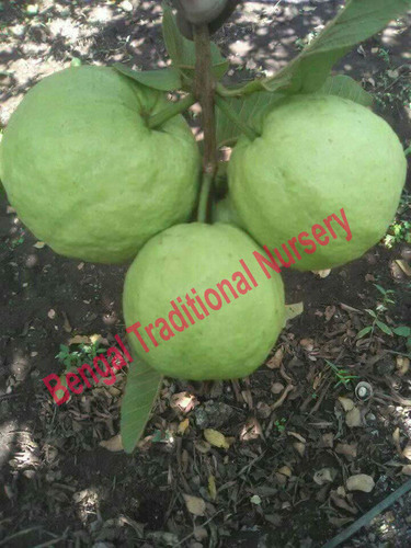 Guava Plants, Guava Plants Manufacturers & Suppliers, Dealers