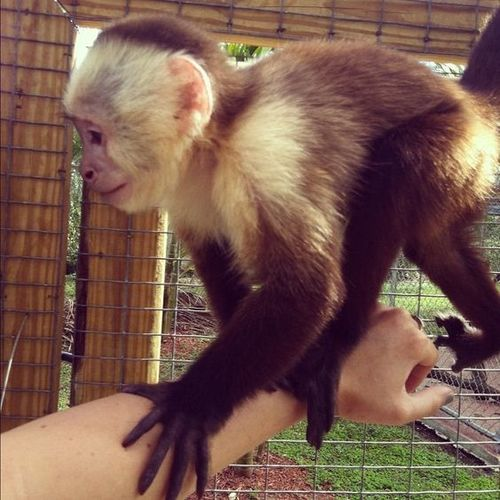 Capuchin Monkey at Price 400 USD ($)/Piece in Mumbai | TOP
