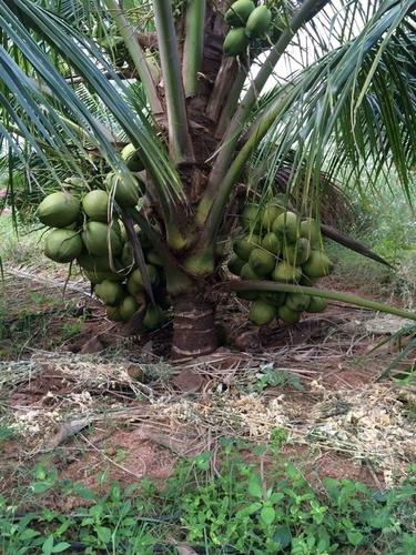 Deejay Sampoorna Coconut