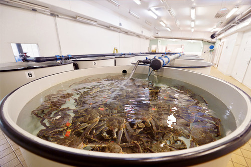 Sea Food King Crabs