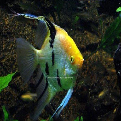 Aquarium Angel Fish