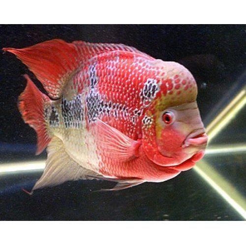 Aquarium Flowerhorn Fish