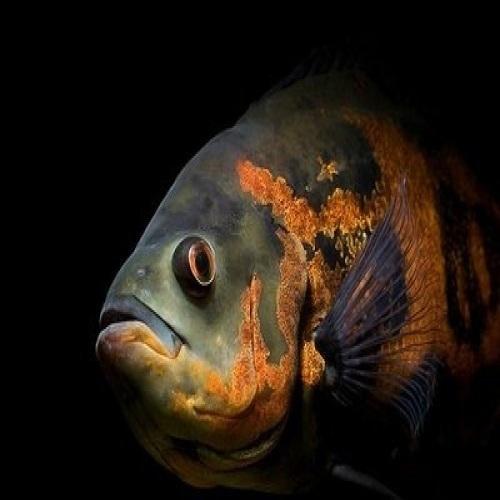 Aquarium Oscar Fish